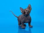 Olivier - Male Cat