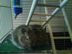 Speedy et Titi - Male Chinchilla (6 months)