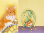 pelusita - Male Hamster (1 year)