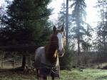 Reddy - Male Horse (14 years)