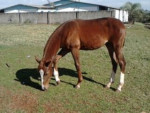guri - Male Horse (1 year)