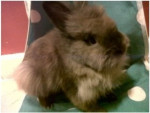 Logan - Male Rabbit with specific fur (9 months)