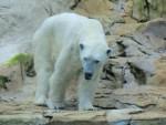 ours blanc - White bear